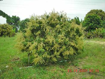 ไม้ผล:การจัดการทรงต้นไม้
