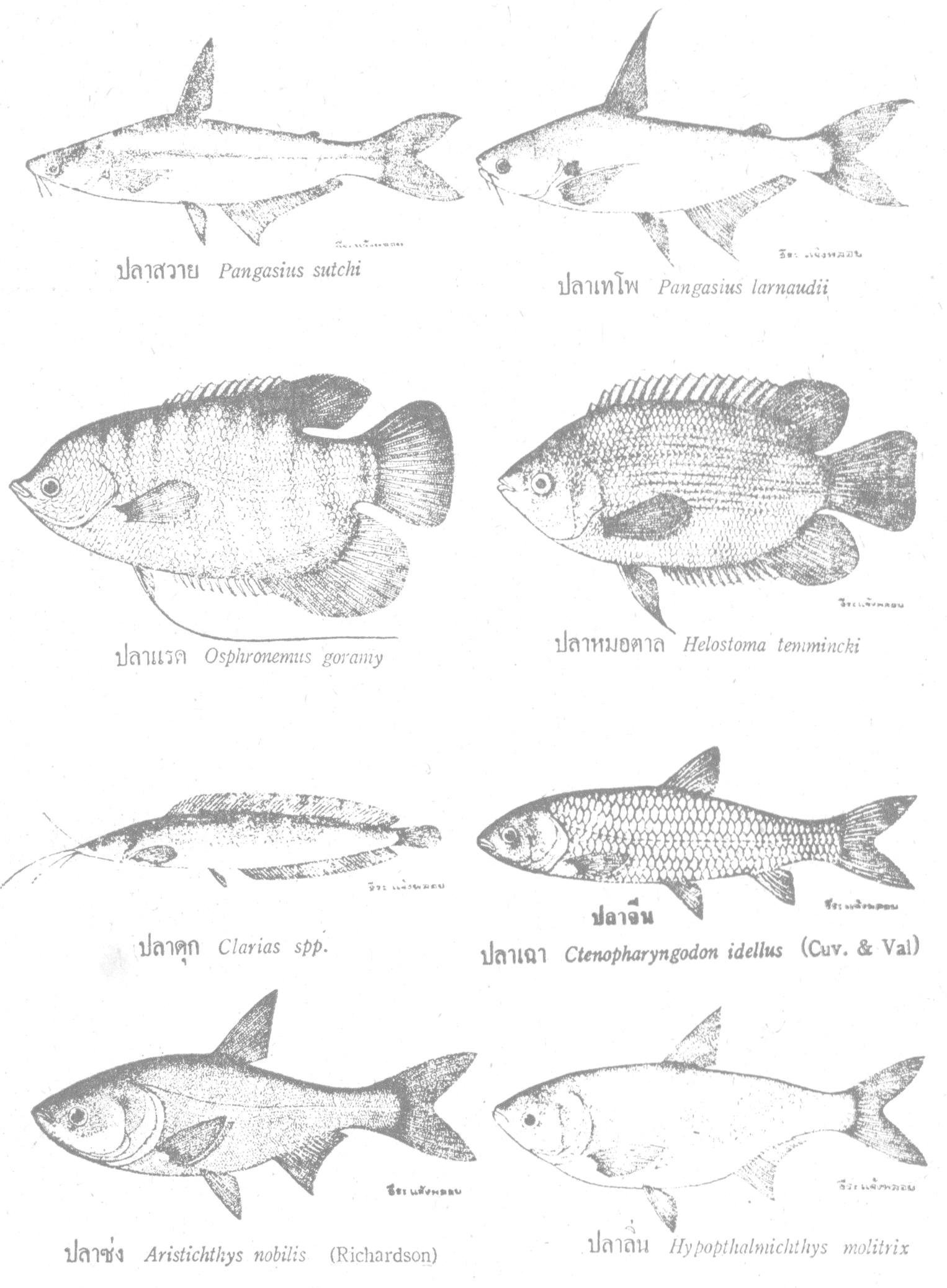 ปลาสวาย ปลาเทโพ กินพืช