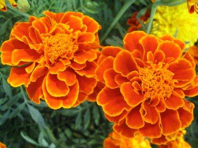 ดาวเรืองฝรั่งเศส (french marigold)