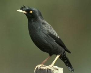 นกเอี้ยงดำ